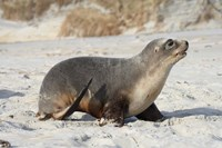 New Zealand Sea Lion Pup, Sandfly Bay, Dunedin Fine Art Print