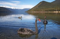 New Zealand, South Island, Nelson Lakes, Black Swan birds Fine Art Print