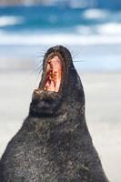 Sea Lion, Sandfly Bay, Otago, South Island, New Zealand by David Wall - various sizes