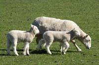 Sheep and Lambs, near Dunedin, Otago, South Island, New Zealand by David Wall - various sizes