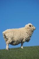 Sheep, Farm animal, Scroggs Hill, So Island, New Zealand by David Wall - various sizes