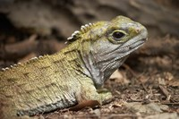 Tuatara, lizard, Pukaha Mount Bruce Wildlife, New Zealand by David Wall - various sizes - $41.99
