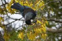 Tui bird, Kowhai Tree, North Island, New Zealand by David Wall - various sizes