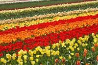 Tulip Fields, West Otago, South Island, New Zealand by David Wall - various sizes