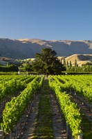 Wooing Tree Vineyard, Cromwell, Central Otago, South Island, New Zealand by David Wall - various sizes - $45.99
