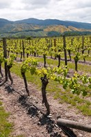 New Zealand, Wairau Rivery Winery vineyard Fine Art Print