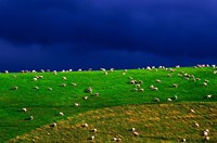 New Zealand, South Island, sheep grazing, farm animal Fine Art Print