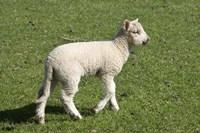Spring lamb, Dunedin, Otago, South Island, New Zealand by David Wall - various sizes