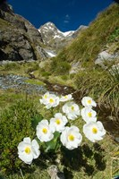 New Zealand Arthurs Pass, Mountain buttercup flower Fine Art Print