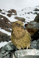 New Zealand, South Island, Arrowsmith, Kea bird up close Fine Art Print