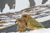 New Zealand, South Island, Arrowsmith, Kea birds Fine Art Print