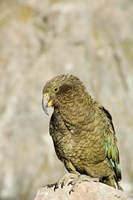 New Zealand, South Island, Arthurs Pass NP, Kea Fine Art Print