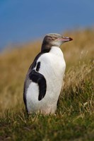 New Zealand, Katiki Point, Yellow-eyed Penguin Fine Art Print