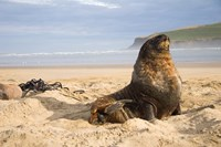 Sea lions on beach, Catlins, New Zealand by Micah Wright - various sizes