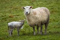 Sheep and lamb, Taieri Plains, Otago, New Zealand by David Wall - various sizes