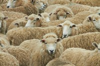 Sheep, Catlins, South Otago, South Island, New Zealand by David Wall - various sizes