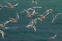 White-fronted Terns, Aramoana, Dunedin, Otago, New Zealand by David Wall - various sizes