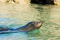 New Zealand, South Island, Marlborough, Fur Seal Fine Art Print