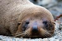 New Zealand, South Island, Kaikoura Coast, Fur Seal Fine Art Print