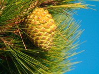 Pine Cone in Tree, New Zealand Fine Art Print