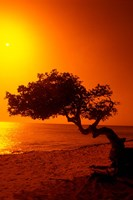 Lone Divi Divi Tree at Sunset, Aruba Fine Art Print