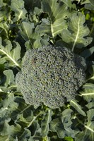 Broccoli growing in the garden by David Wall - various sizes