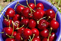 Bucket of cherries, Cromwell, Central Otago, South Island, New Zealand by David Wall - various sizes