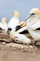 Gannet tropical birds, Cape Kidnappers New Zealand Fine Art Print