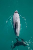 Hector's dolphin, Akaroa Harbour, New Zealand by David Wall - various sizes