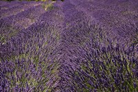 Lavender Farm, near Cromwell, Central Otago, South Island, New Zealand (horizontal) Fine Art Print