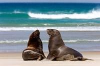 New Zealand, South Island, Hooker's Sea Lion Fine Art Print