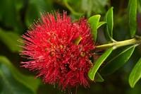 Pohutukawa Flower, Dunedin, South Island, New Zealand by David Wall - various sizes - $37.49