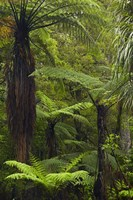 Tree ferns, Manginangina Kauri Walk, Puketi Forest, near Kerikeri, North Island, New Zealand by David Wall - various sizes