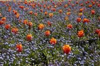 Tulip flowers, Ashburton Domain, New Zealand by David Wall - various sizes