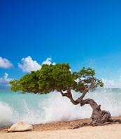 Divi Divi Tree, Eagle Beach, Aruba, Caribbean Fine Art Print