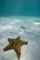 Bahamas, Marine Life, Sea star, Golden Rock Beach Fine Art Print