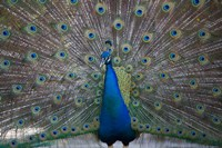 Bahamas, Nassau, Indian Peacock patterns Fine Art Print