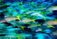 Grunts in Motion, Abacos, Bahamas by Stuart Westmorland - various sizes
