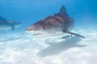 Tiger Sharks, Northern Bahamas Fine Art Print