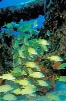 Schooling Bluestriped Grunts, Bahamas, Caribbean by Stuart Westmorland - various sizes, FulcrumGallery.com brand