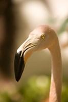 Caribbean, Bonaire, Flamingos, tropical bird by John & Lisa Merrill - various sizes