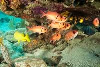 Soldierfish, grunts, Tortola, BVI by Stuart Westmorland - various sizes