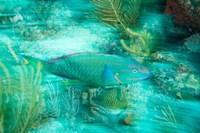 Stoplight Parrotfish, Virgin Gorda Island, British Virgin Islands, Caribbean by Stuart Westmorland - various sizes - $41.49
