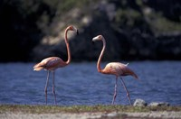 Pink Flamingos on Lake Goto Meer, Bonaire, Caribbean by Greg Johnston - various sizes