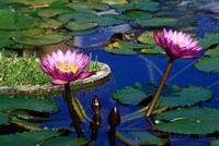 Water Lillies in Reflecting Pool at Palm Grove Gardens, Barbados Fine Art Print