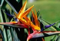 Bird of Paradise in Bermuda Botanical Gardens, Caribbean Fine Art Print