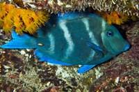 Blue Tang fish, Bonaire, Netherlands Antilles, Caribbean by Pete Oxford - various sizes