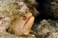 Goldentail Moray fish, Bonaire, Netherlands Antilles by Pete Oxford - various sizes, FulcrumGallery.com brand