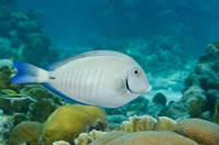Ocean Surgeonfish, Bonaire, Netherlands Antilles by Pete Oxford - various sizes