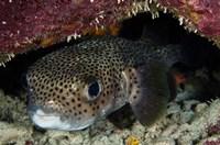 Porcupine Fish, Bonaire, Netherlands Antilles, Caribbean by Pete Oxford - various sizes